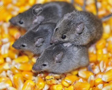 Four field mice eating corn grain on the farm.